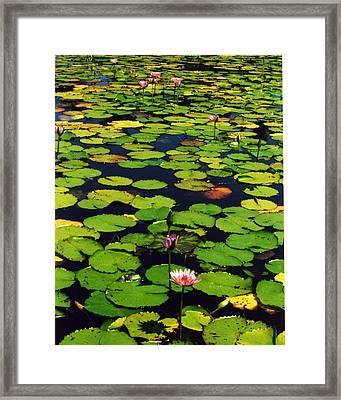 Wailea Water Lilies Framed Print by Jennifer Ott