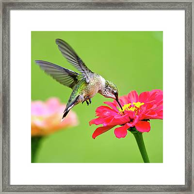 Waiting In The Wings Hummingbird Square Framed Print