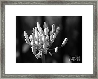 Waiting To Blossom Into Beauty - Bw Framed Print
