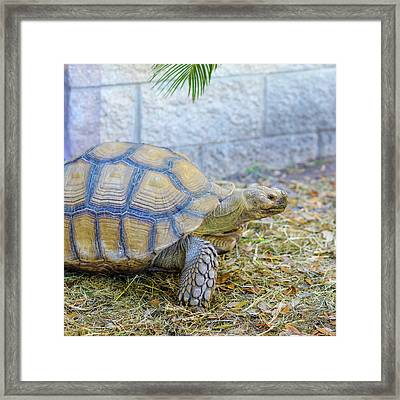 Framed Print featuring the photograph Walking Turtle by Raphael Lopez