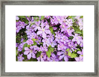 Wall Of Pink Clematis Blooms - Digitally Enhanced Framed Print