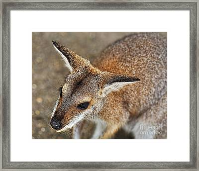 Wallaby Portrait Framed Print by Kaye Menner