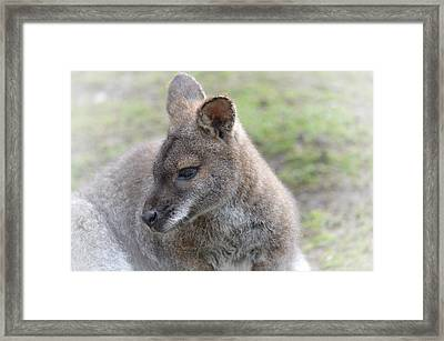 Wallaby Framed Print by Sharon Lisa Clarke