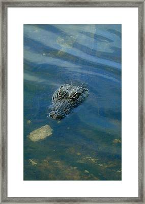 Wally The Gator Framed Print
