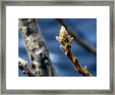 Walnut Bud In Spring Framed Print by Lisa Jayne Konopka