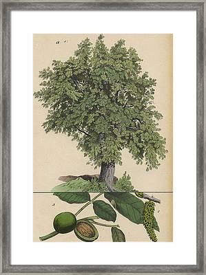 Walnut Tree And Fruit Framed Print