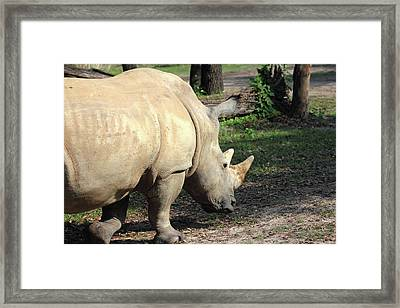 Wandering Rhino Framed Print by Mary Haber