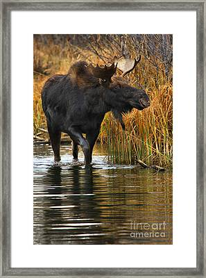 Wandering Through The Marsh Framed Print by Adam Jewell