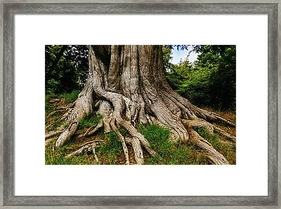 Wandering Tree Roots Framed Print by Garry Gay