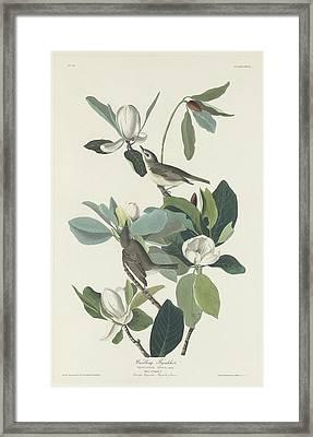 Warbling Flycatcher Framed Print
