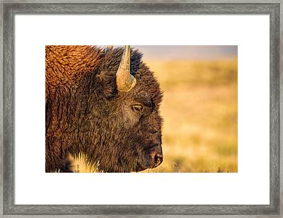 Warm Bison Framed Print