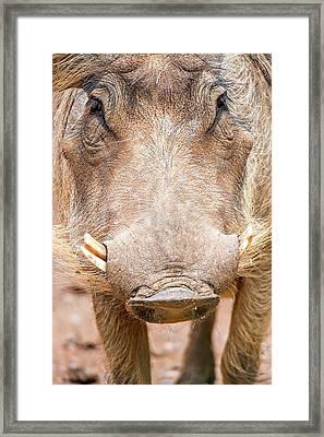 Wart Hog Portrait Looking Straight At Camera Framed Print by Alex Grichenko