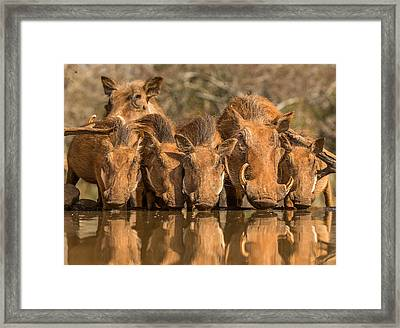 Warthog Family Reunion Framed Print by Jaco Marx