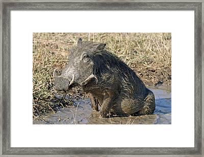 Framed Print featuring the photograph Warthog Taking Mud Bath by Riana Van Staden