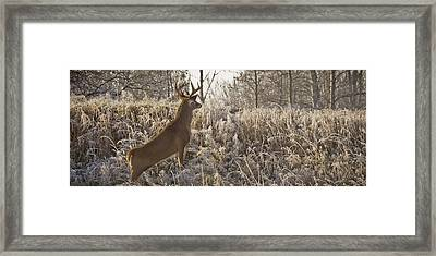Wary Buck Framed Print