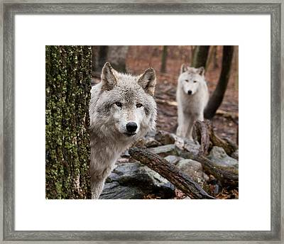Wary Wolves Framed Print