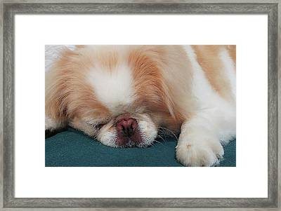 Framed Print featuring the photograph Wasabi, Japanese Chin. by Roger Bester