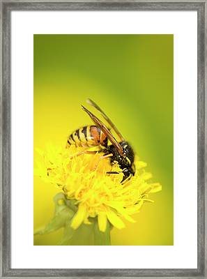 Wasp Framed Print by Jouko Mikkola