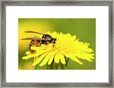 Wasp On Flower Framed Print by Jouko Mikkola