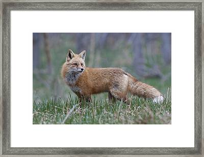 Framed Print featuring the photograph Watchful by Gary Lengyel