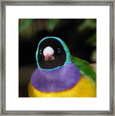 Watchful Gouldian Finch Framed Print by Margaret Saheed