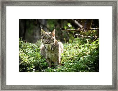 Watchful Mama Lynx Framed Print