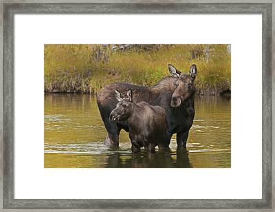 Watchful Moose Framed Print