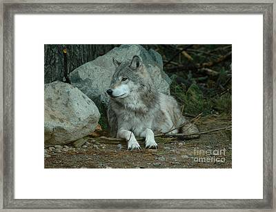 Watchful Wolf Framed Print