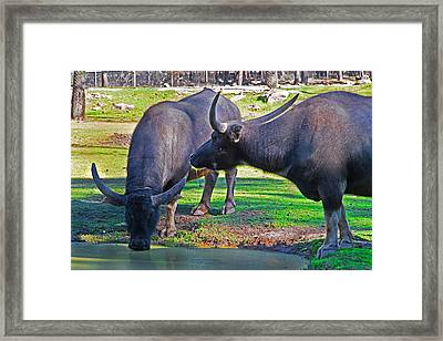 Watching 2 Water Buffalos 1 Water Buffalo Watching Me Framed Print