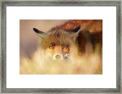 Watching The Watcher - Hunting Red Fox Framed Print