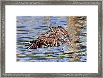 Water Ballet - Brown Pelican Framed Print by HH Photography of Florida