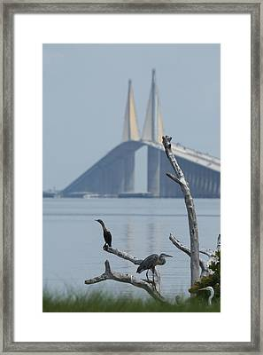 Water Birds On Tampa Bay Framed Print by Carl Purcell