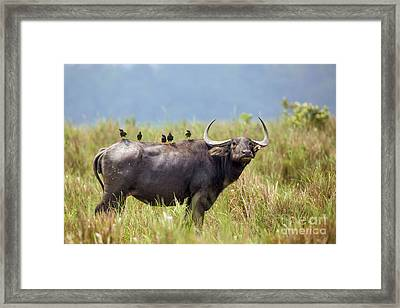 Water Buffalo And Birds Framed Print by B. G. Thomson