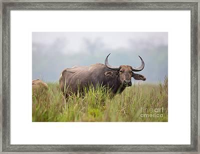 Water Buffalo, India Framed Print by B. G. Thomson