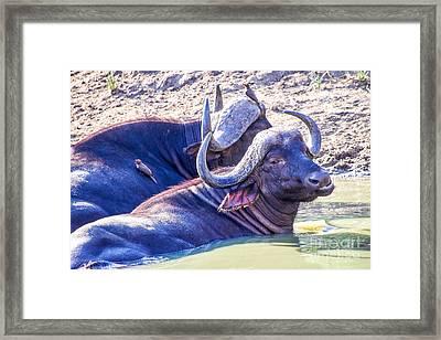 Water Buffalo Framed Print by Juergen Klust
