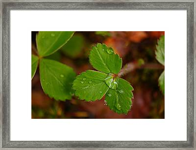 Water Drop On A Green Plant Framed Print