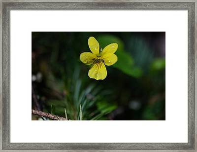 Water Drops On A Yellow Blossom Framed Print