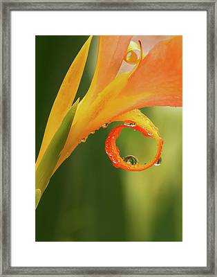 Water Drops On Canna Curl Framed Print by Jean Noren