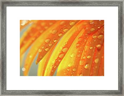Water Drops On Daisy Petals Framed Print by Daphne Sampson