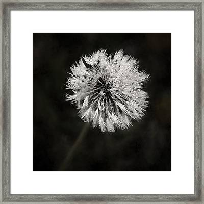 Water Drops On Dandelion Flower Framed Print by Scott Norris