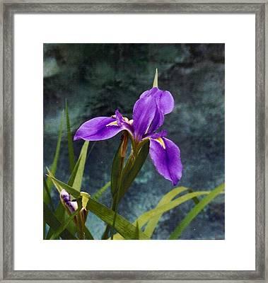 Water Iris Framed Print by Rebecca Shupp