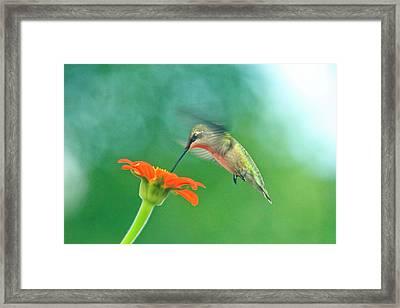 Hummingbird And Zinnia With Sun Glare Framed Print