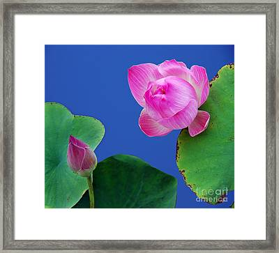 Water Lili Framed Print by Ty Lee