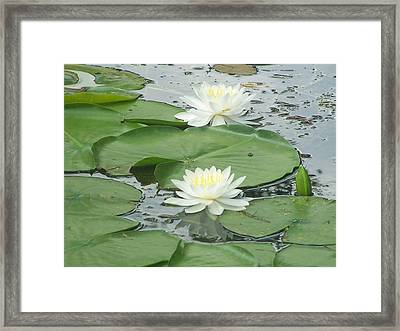 Water Lilies At Conesus Lake Framed Print