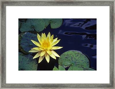 Water Lilly - 1 Framed Print by Randy Muir
