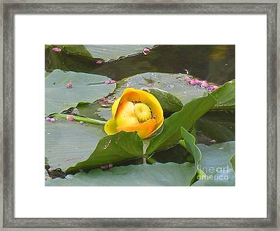 Water Lilly Framed Print by Diane Greco-Lesser