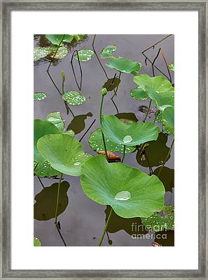 Water Lily Droplets Framed Print