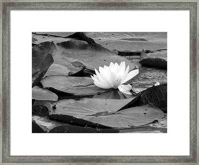 Water Lilly Framed Print by Noelle  Kimberley