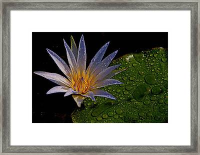 Water Lily 2 Framed Print by Chaza Abou El Khair