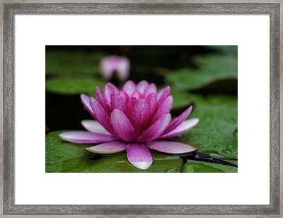 Water Lily After Rain Framed Print